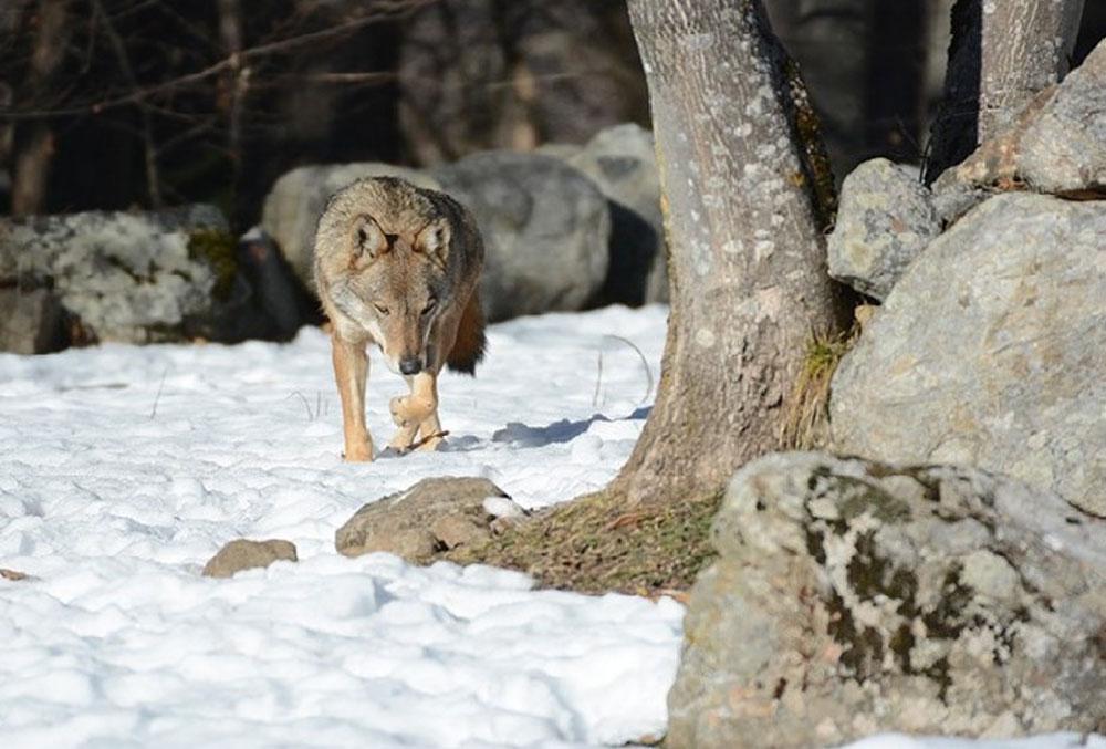 Wolf experience: visita al centro faunistico uomini e lupi