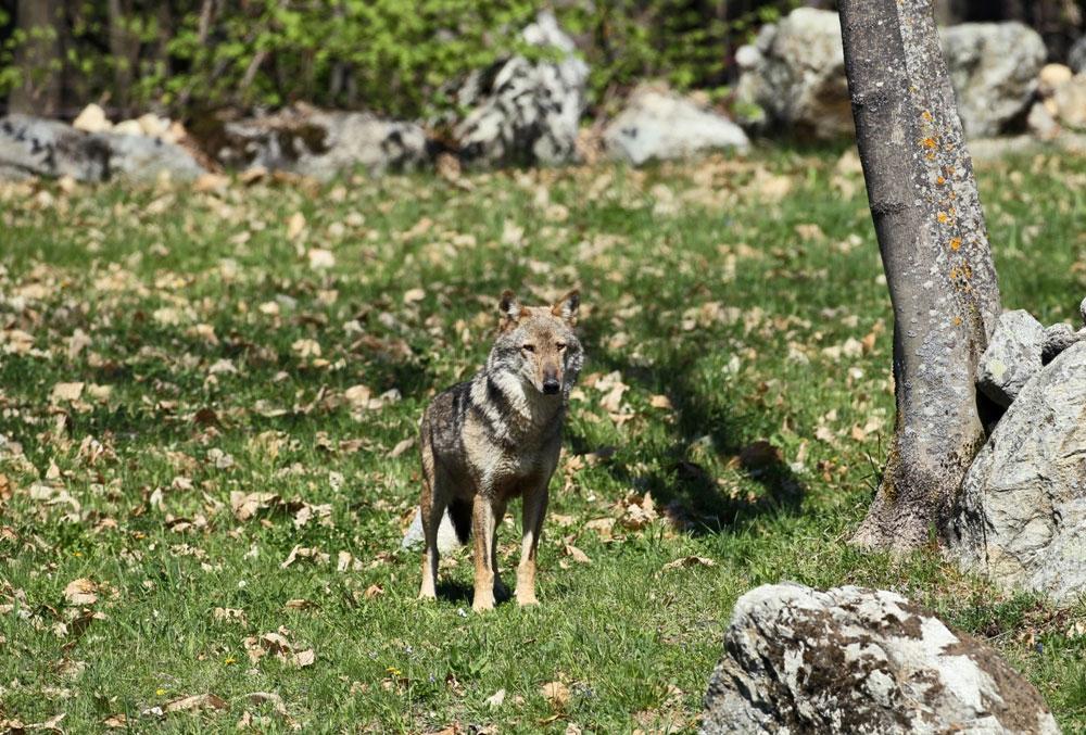 Wolf experience primavera-estate: visita al centro faunistico uomini e lupi